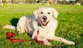 Labrador - de sorte que votre race de chien est un chien de goujon