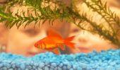 Garder le poisson rouge dans un aquarium - si vous créez une oasis pour les poissons
