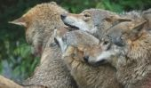 Wolves tirent apprendre - comment cela fonctionne, étape par étape