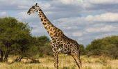 Girafe peindre des tableaux - tant de succès une girafe avec quelques coups de pinceau