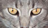 Gouttes pour les yeux pour les chats - de sorte que vous l'appliquer