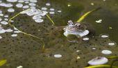 Combien d'œufs met une grenouille?