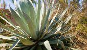 Quel est le nectar d'agave?  - Découvrez des substituts de sucre