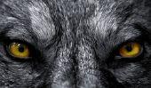 Tatouages: Wolf - Avis