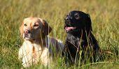 Chiens de garde races - les caractéristiques et les traits les distinguent