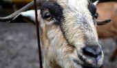 Pourquoi lait de chèvre est grand (croyez-moi, je suis une chèvre Whisperer)