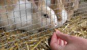 Raisin de table peut Rabbit?  - Pour nourrir les lapins humanité