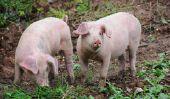 Quels sont les porcs?  - Information