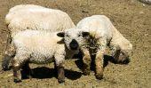 costume de moutons coudre un bébé - comment cela fonctionne: