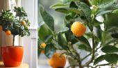 Comment faire pousser un arbre Clementine dans votre maison