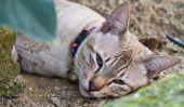 Oreilles froides chez les chats - de sorte que vous interpréter les symptômes correctement