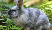 races de lapin - que vous devriez considérer lors de l'achat
