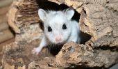 Hamster nain - nom pour les petits rongeurs