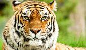 Quelle est la vitesse d'un tigre?