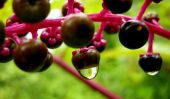 Top 10 des plantes les plus toxiques qui ont l'air comestibles