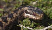 Serpents allemands - En savoir plus