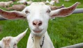 """""""Vous ne pouvez pas concilier la chèvre et le chou» et d'autres idiomes AMAZING du monde entier"""