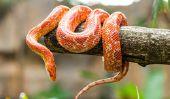 Les serpents de maïs sont toxiques?