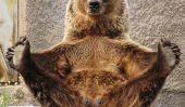 Le Yoga ours qui pratique