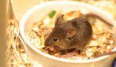 Que mangent les souris heureux?  - Une bonne alimentation et les soins des petits