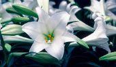 Lily comme un symbole