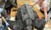 Rencontrez Yawkey, le géant tout le monde des tortues de mer parle