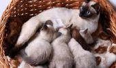 Chats naissance - donc vous soutenez votre chat à l'accouchement