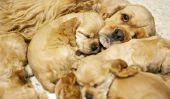 Chien grossesse - si vous maintenez votre chien correctement
