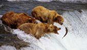 Les Bears de pêche au saumon de Brooks chutes