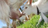 Le lait de chèvre pour les bébés - vous devez savoir
