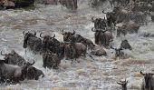 La grande traversée de la rivière Mara