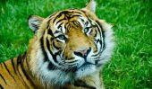 Tiger caresser en Allemagne?  - Notes