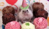 Humphrey J Hedgehog a un (faire semblant) vie étonnante