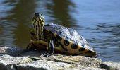 Combien les tortues?  - Comment calculer les coûts d'achat et de divertissement
