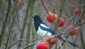 Elster protégé - sachant sur les oiseaux en voie de disparition