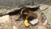 Bourdons peuvent piquer ou mordre?  - Pour comprendre la défense de l'insecte