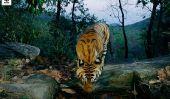 Espèces en danger Stats: WWF pourparlers moyenne de 2 Tiger Poachings par semaine Global Tiger Day 2014