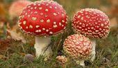 Comment puis-je reconnaître les champignons vénéneux?
