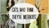 10 chats qui pensent qu'ils sont fait un Meerkat