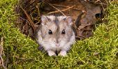 Combien gagne un hamster nain?