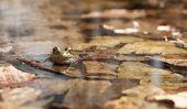 Espèces de grenouilles en Allemagne - Aperçu
