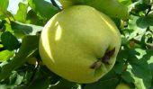 Pris le fruit à pépins sous le microscope - teneur en vitamine d'Apple