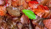 Hêtre et la feuille - donc vous apprennent à reconnaître les caractéristiques des feuilles