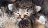 Lorsqu'il est ouvert chat yeux?  - Information sur les soins de chatons
