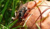 Combien de temps dure une mouche?  - Découvrez des insectes