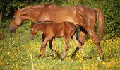 La gestation chez le cheval - Durée