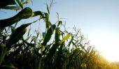 Cornflakes malsaine?  - Pour en savoir plus sur le produit de maïs