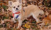 Chihuahua chiots à vendre - de sorte que les chiens viennent en de bonnes mains