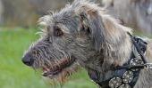Wolfhound - les courses individuelles un coup d'oeil