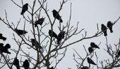 Combien de temps les corbeaux?  - Informatif